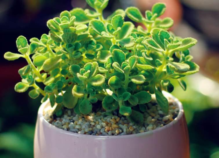 Sen Đá Lá Thơm – loài sen đá có mùi thơm nhẹ dễ chịu