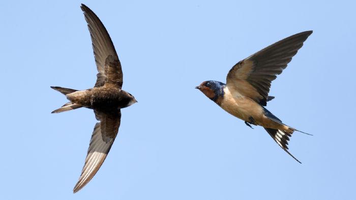 Nuôi chim yến theo hình thức trong nhà lấy tổ