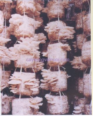 Nấm sò trắng trồng trên rơm